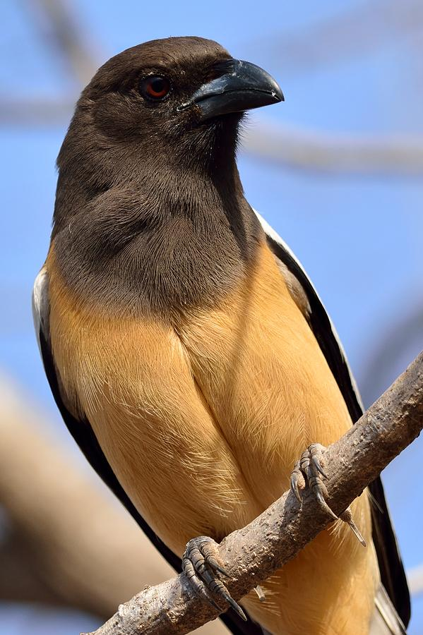 Rufous Photograph - Rufous Treepie. Another Portrait by Fotosas Photography