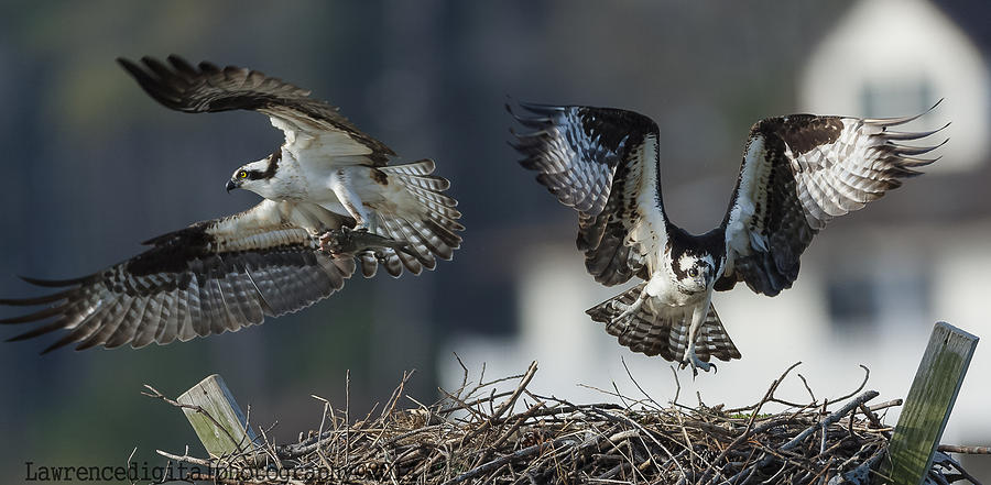 Ospreys Photograph - Run For It  by Glenn Lawrence