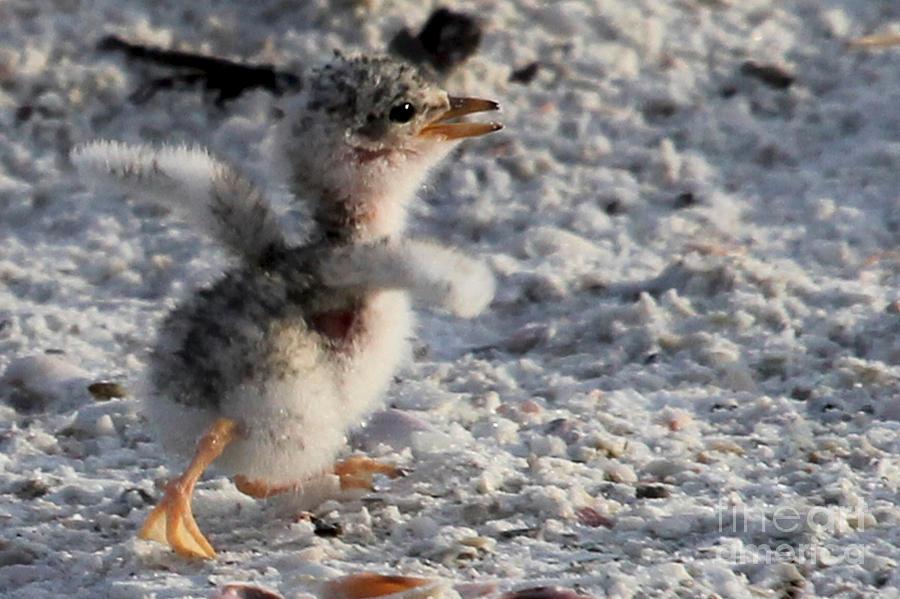 Running Free - Least Tern by Meg Rousher