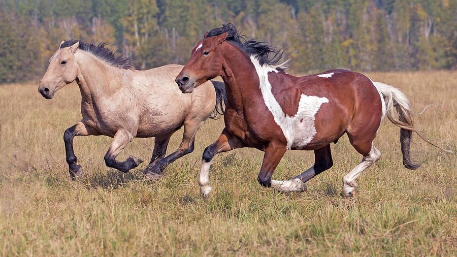 Running Horses Photograph by Gary Samples