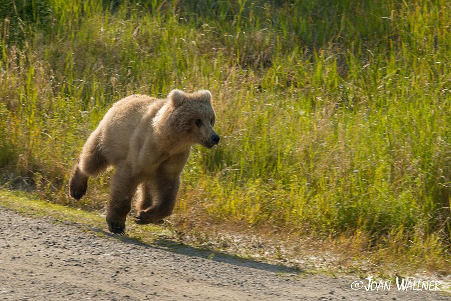Alaska Photograph - Running Scared by Joan Wallner