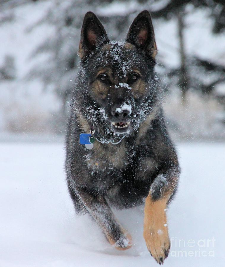 German Shepherd Photograph - Running Through The Snow by Roland Stanke