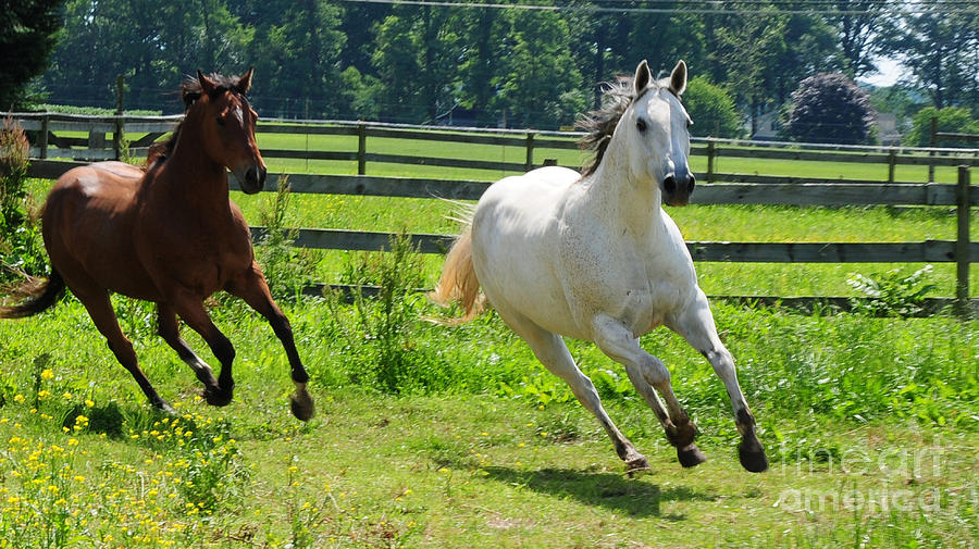 Two Horses Photograph - Running Wild by Paul Ward