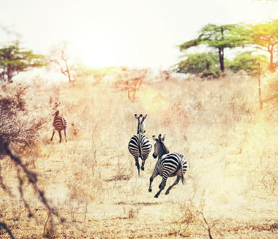 Running Zebras Photograph by Borchee