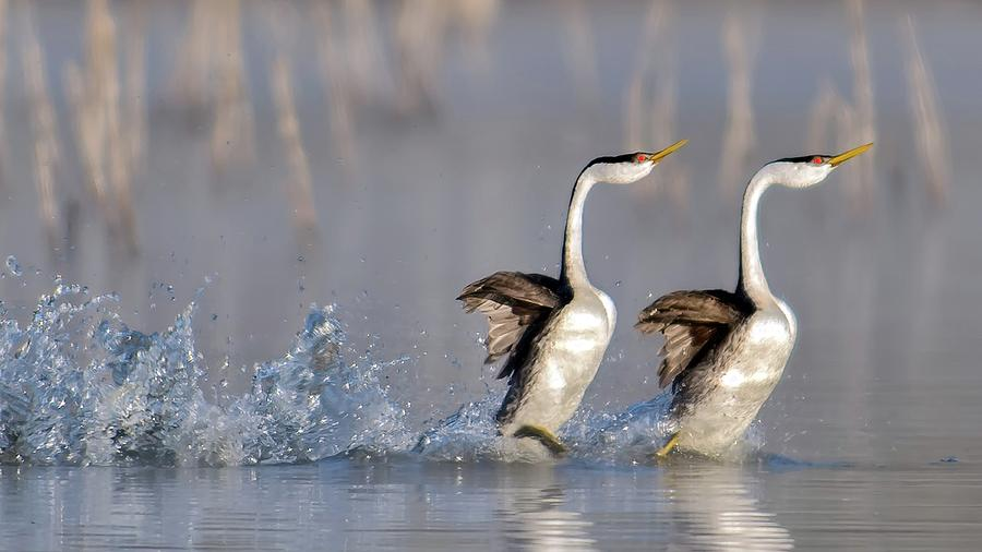 Wildlife Photograph - Rushing For Love! by Andrew J. Lee