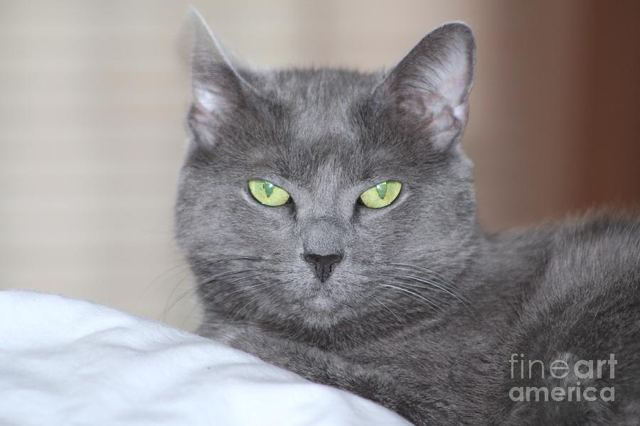 Cat Photograph - Russian Blue by Michelle Powell