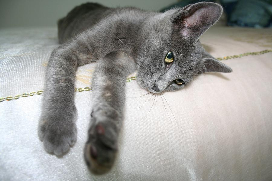 Gray Cat Pale Blue Eyes