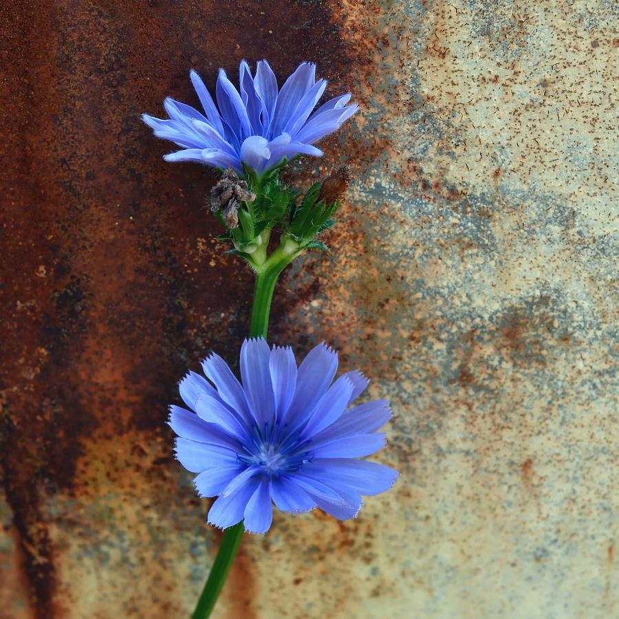 Rustic Bloom Photograph - Rustic Bloom by Tom Druin