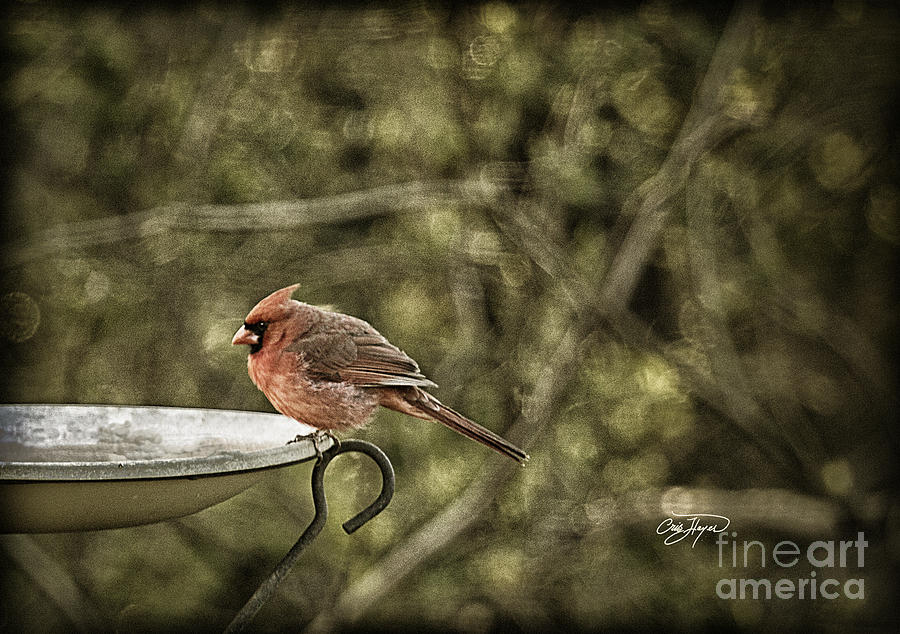 Bird Photograph - Rustic Cardinal by Cris Hayes