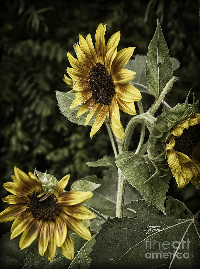 Rustic Sunflower 3 Photograph By Cris Hayes