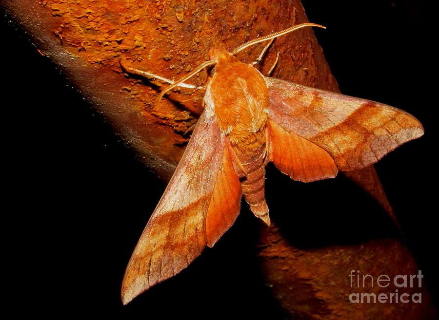 Rusty Sphinx Moth Photograph by Joshua Bales