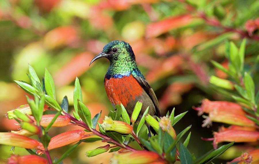 Sunbird Photograph - Ruwenzori Double-collared Sunbird Male by Tony Camacho/science Photo Library