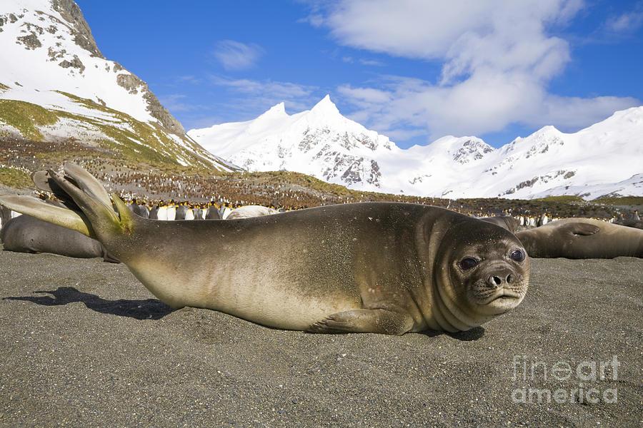 Southern Elephant Seal Pup Photograph by Yva Momatiuk John Eastcott