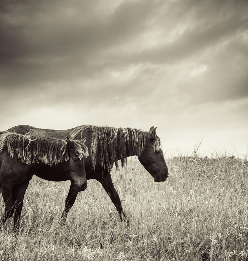 Sable Island Horses Photograph by Jewelsy