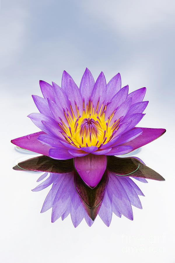 India Photograph - Sacred Indian Blue Lotus Flower by Tim Gainey