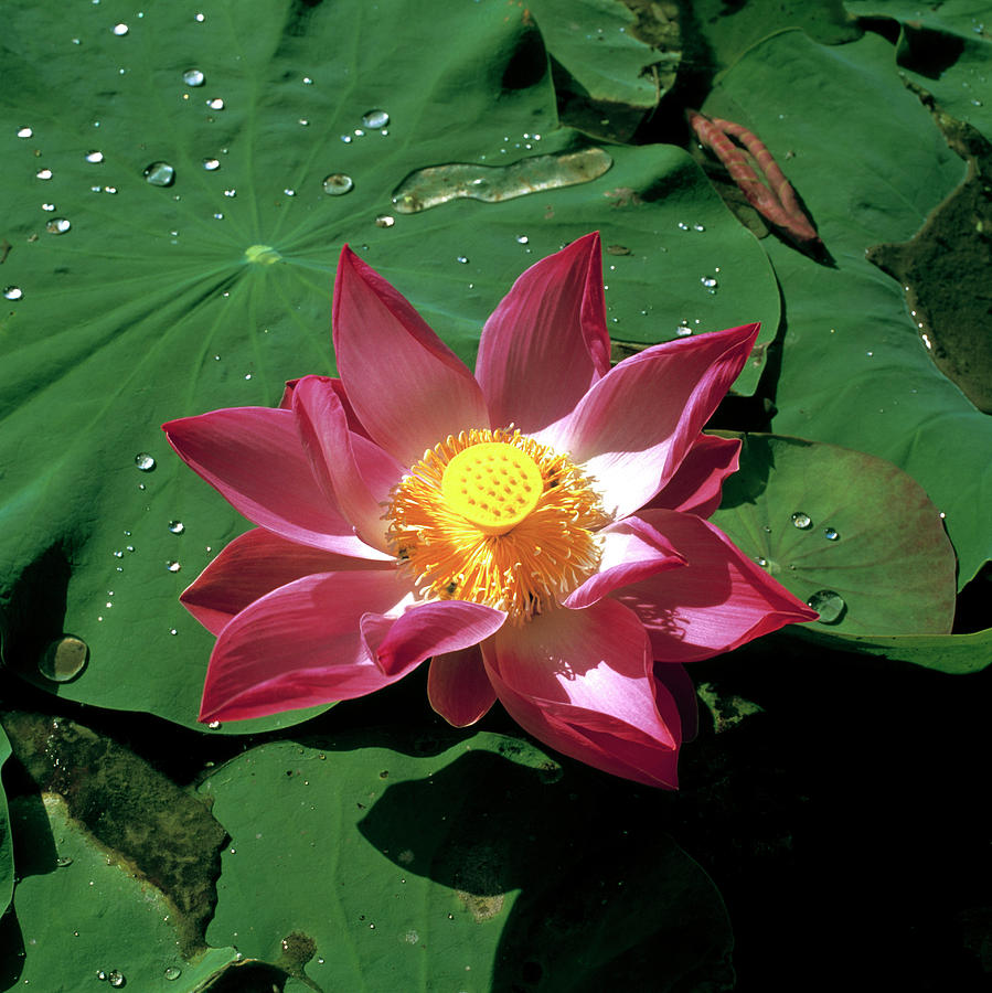Sacred Lotus Flower Photograph By Mark De Fraeyescience Photo Library