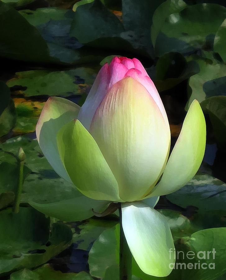 Lotus Photograph - Sacred Tulip Lotus by Patricia Januszkiewicz