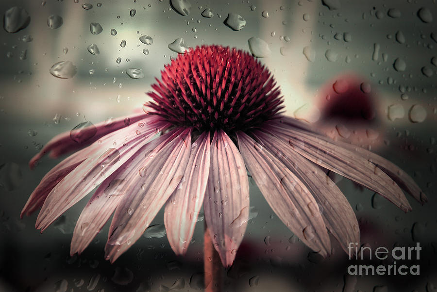 Flower Photograph - Sad Solitude by Aimelle