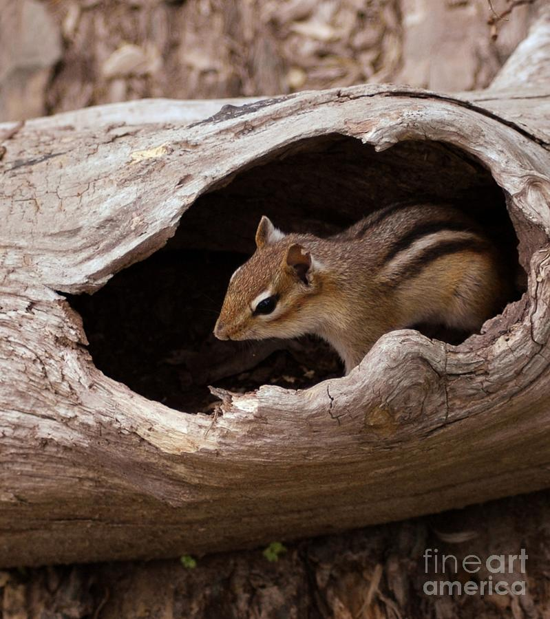 Chipmunk Photograph - Safe Place by Kathleen Struckle