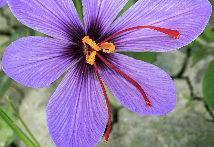 Saffron Crocus Saffron Sativus Flower Photograph By Bob Gibbons
