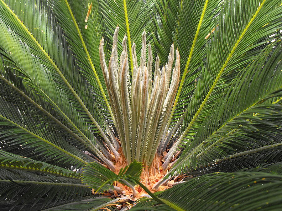 Sago Palm In Bloom Photograph by Rebecca Cearley