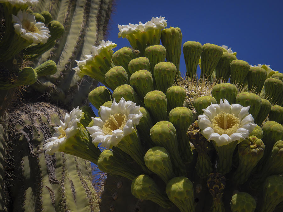 Flowers Photograph - Saguaro Cactus Flowers by Penny Lisowski