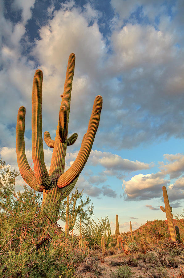 Saguaro National Park Photograph by Michele Falzone