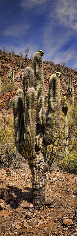 Saguaro Photograph - Saguaro Of Many Arms by Heather Applegate