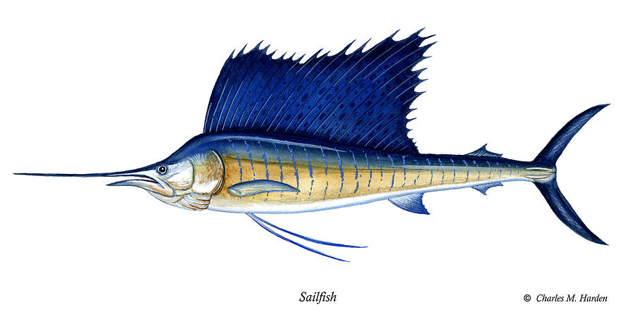 Charles Painting - Sailfish by Charles Harden