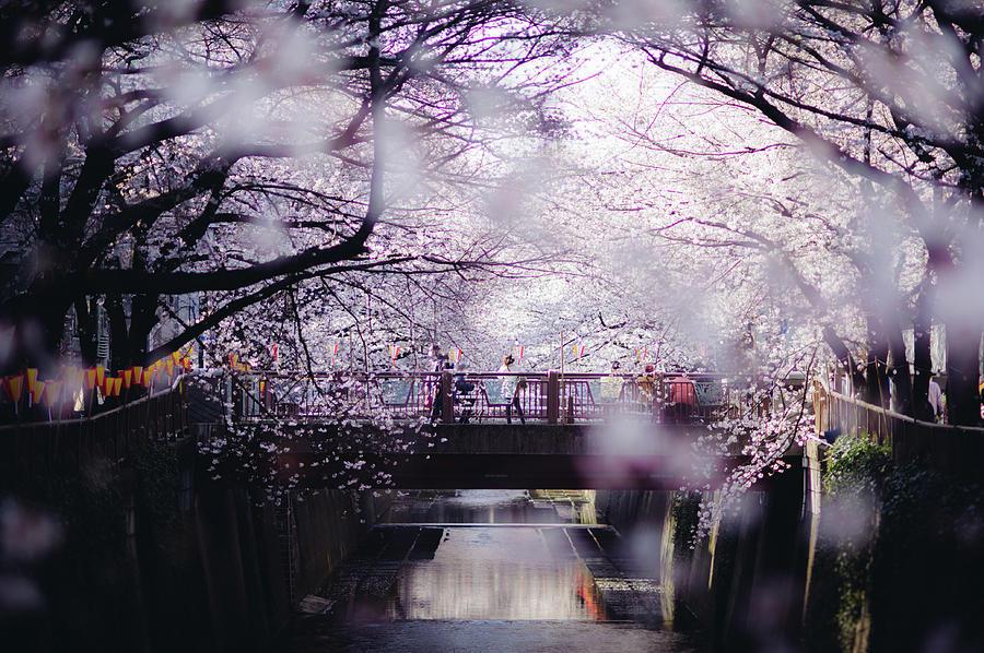 Sakura Around Tokyo, Japan Photograph by Dear Blue
