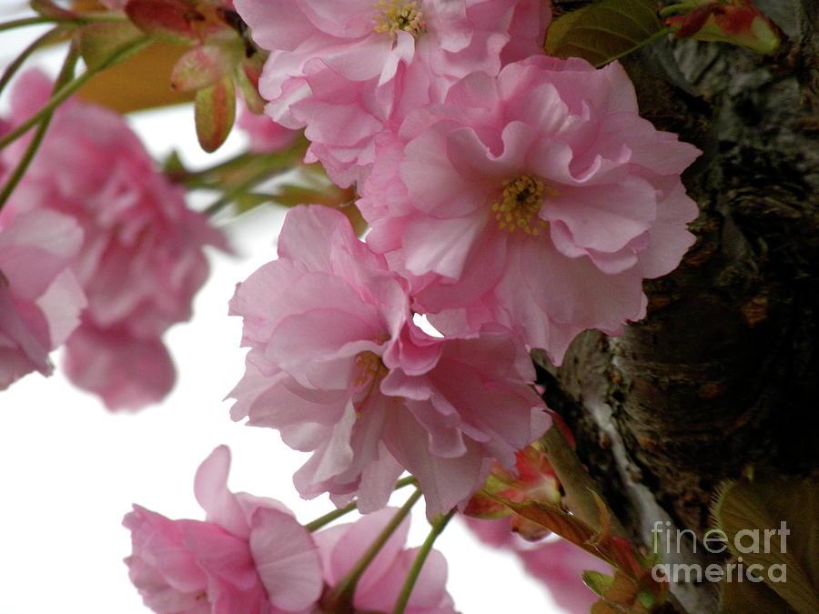 Sakura Photograph - Sakura by Laura Yamada