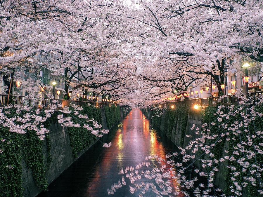 Sakura On Meguro River Photograph by Taketan