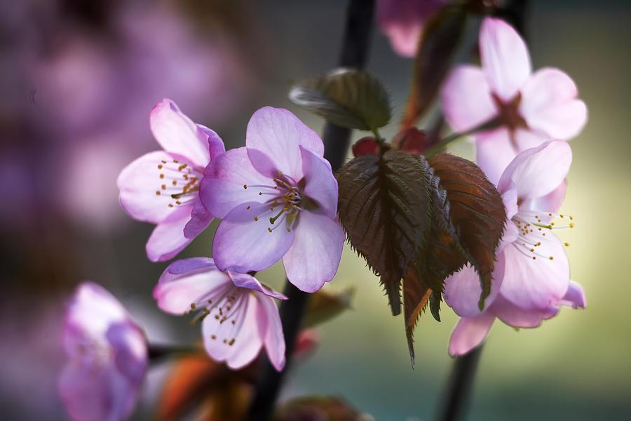 Flowers Pyrography - Sakura by Vetre Antanaviciute Meskauskiene