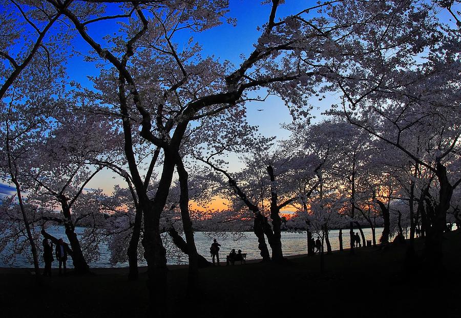 Tidal Basin Photograph - Sakuras Twilight by SCB Captures
