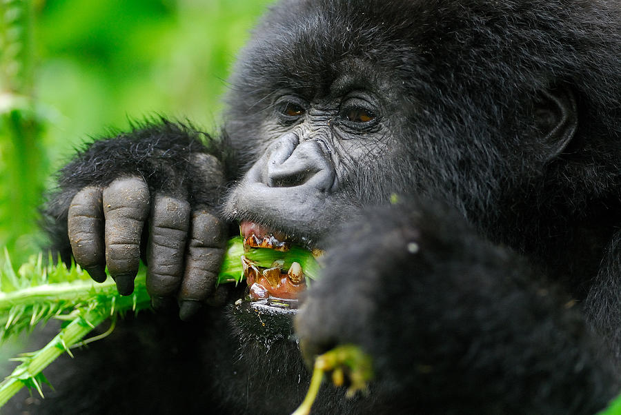 Gorilla Photograph - Salad Greens by Stefan Carpenter