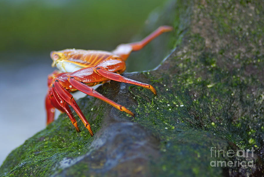 Alertness Photograph - Sally Lightfoot Crab On Rock by Sami Sarkis
