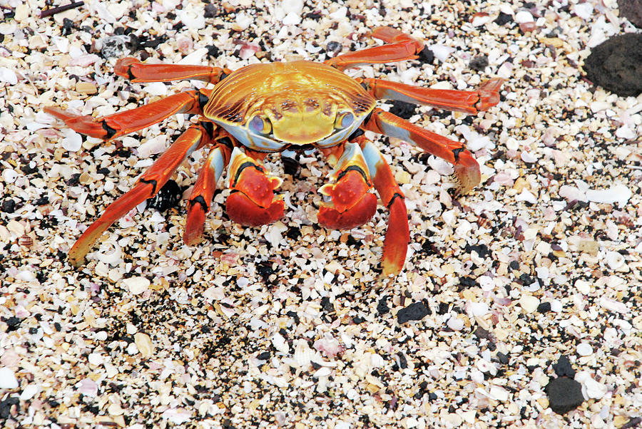 Sally Lightfoot Photograph - Sally Lightfoot Crab by Sue Ford/science Photo Library