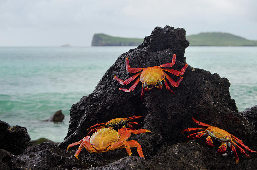 Sally-lightfoot Crabs Photograph by Pearl Vas