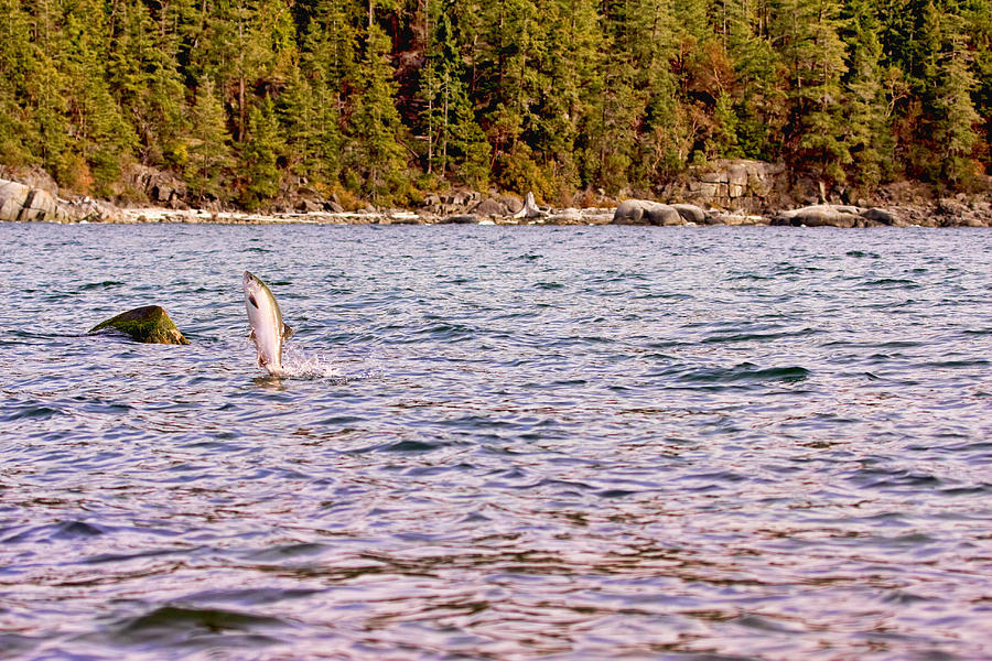 Salmon Photograph - Salmon Jumping in the Ocean by Peggy Collins