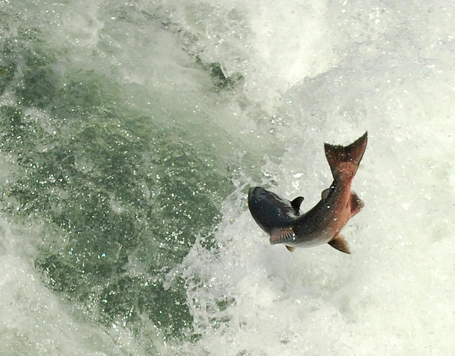 Salmon Run Photograph - Salmon Run 2 by Mamie Gunning