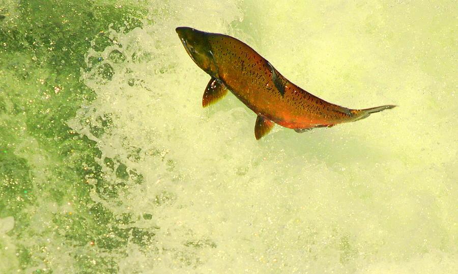 Salmon Run Photograph - Salmon Run 3 by Mamie Gunning