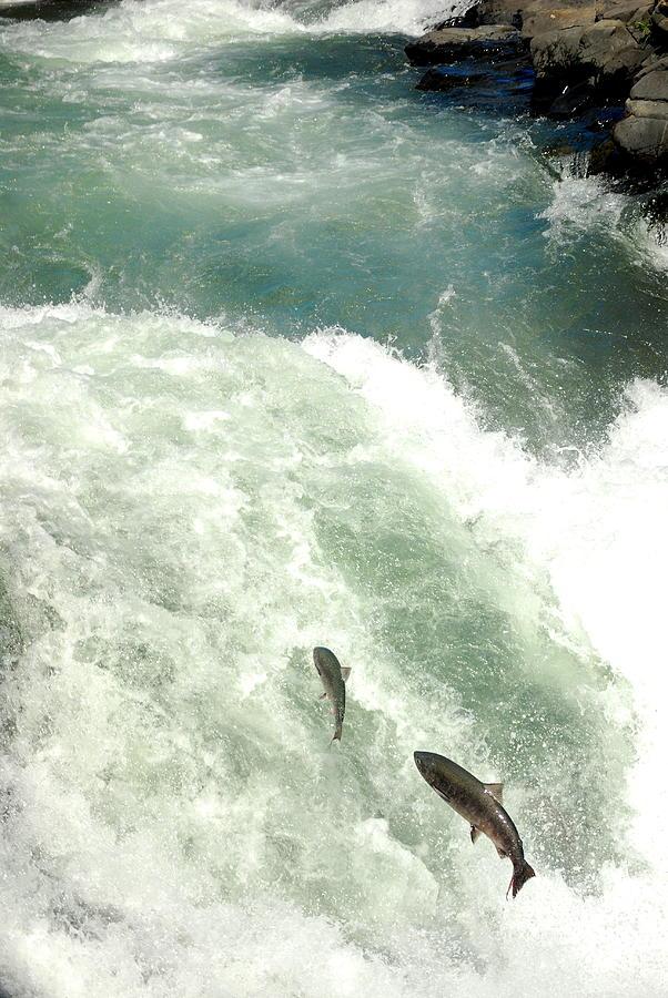 Salmon Run Photograph - Salmon Run 4 by Mamie Gunning