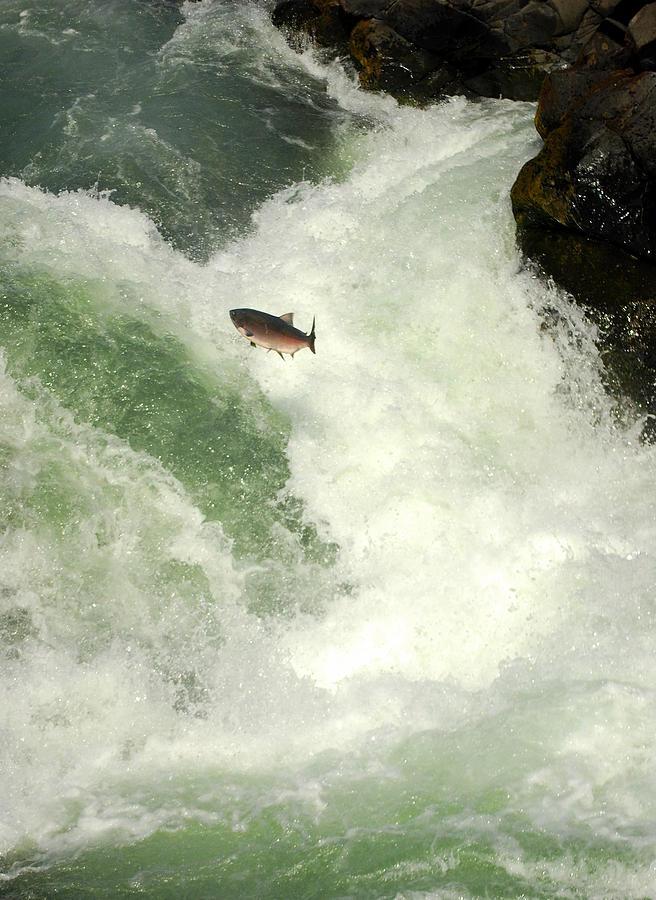 Salmon Run Photograph - Salmon Run 5 by Mamie Gunning