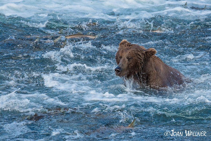 Alaska Photograph - Salmon salmon everywhere by Joan Wallner