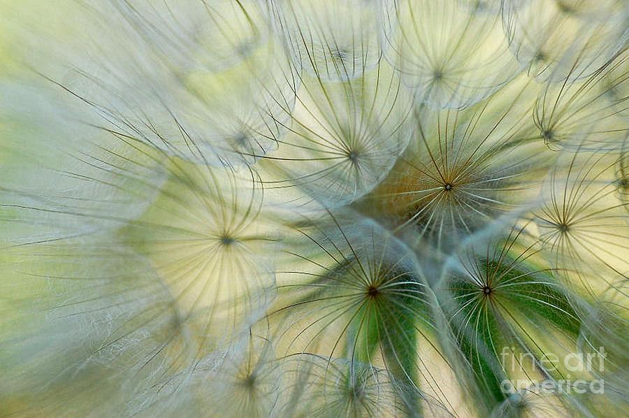 Dandelion Photograph - Salsifis Dorient by Elaine Manley