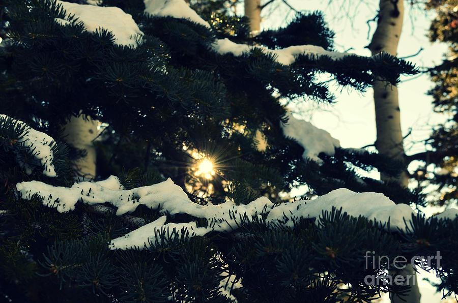 Salt Lake City Pine Trees With Snow Photograph