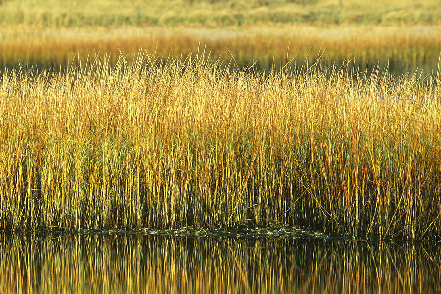 Plant Photograph - Saltmarsh Cordgrass Spartina by Paul J. Fusco