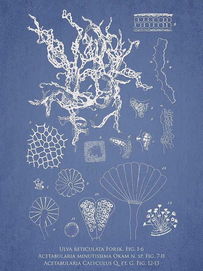 Algae Drawing - Salwater Algae by Aged Pixel
