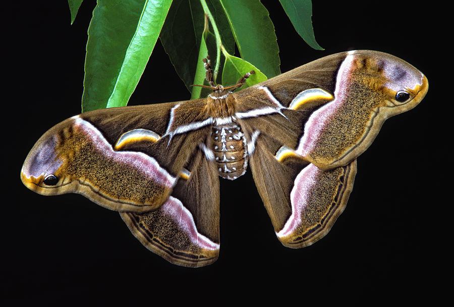Samia Photograph - Samia Cynthia Silk Moth by Robert Jensen