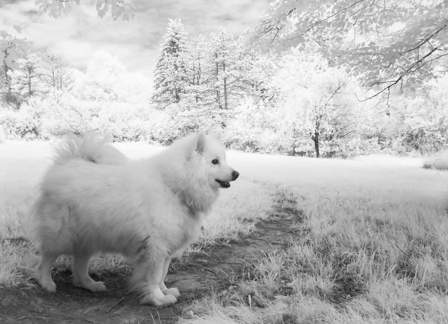 Dog Photograph - Samoyed In Ir by Eric Peterson